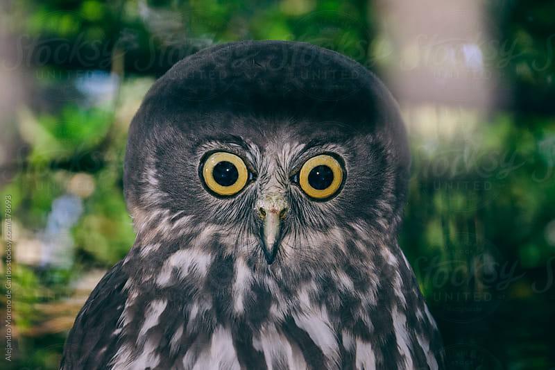 Funny owl with big eyes and big head by Alejandro Moreno de Carlos for Stocksy United