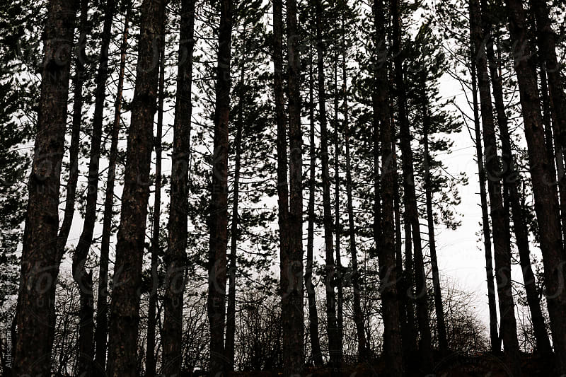 Silhouette of pine forest by Aleksandar Novoselski for Stocksy United