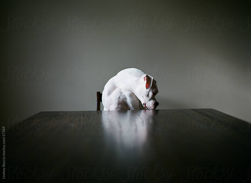 white boxer waits at table by Lindsey Boccia for Stocksy United