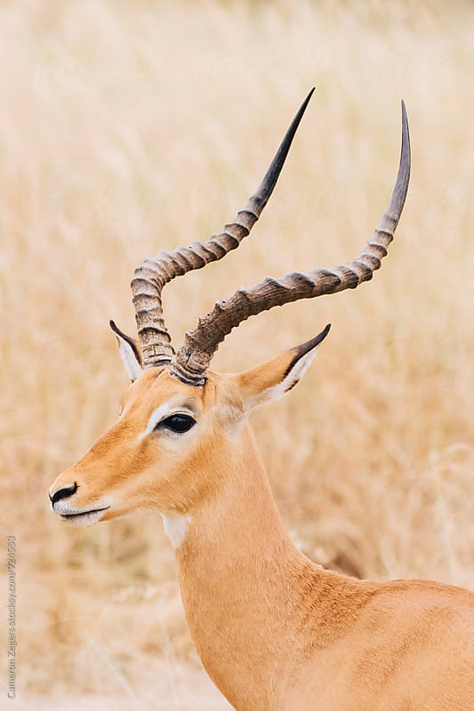 impala in grassland by Cameron Zegers for Stocksy United