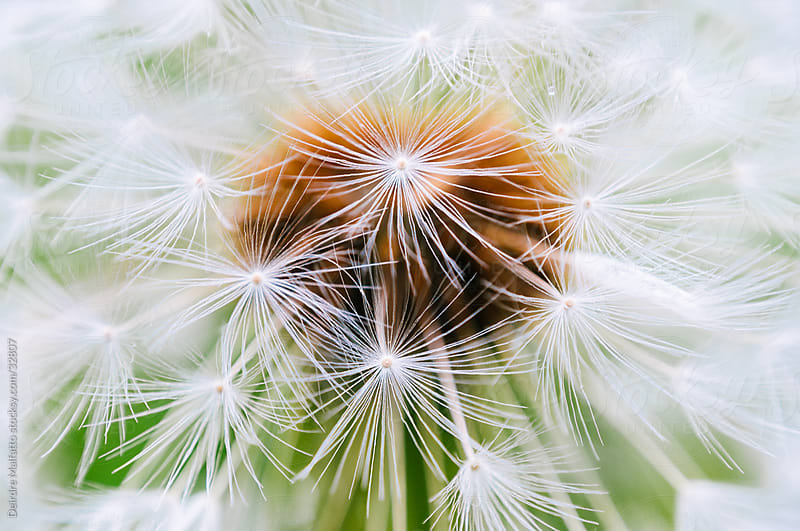 Close-up of a Dandelion Seed Head by Deirdre Malfatto for Stocksy United