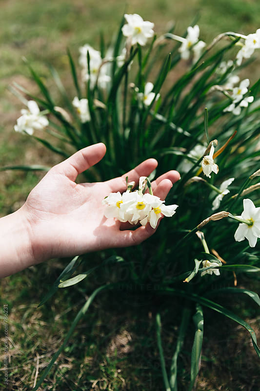 Girls hand touching White Daffodils - vertical by Jacqui Miller for Stocksy United