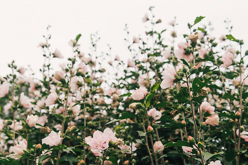 pastel pink flowers growing on a bush by Deirdre Malfatto for Stocksy United