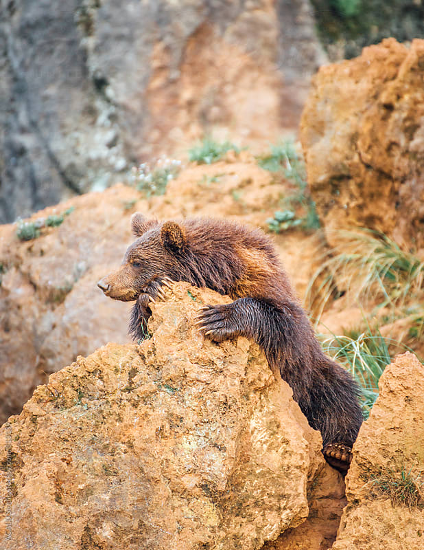 Young brown bear on a rock by ACALU Studio for Stocksy United