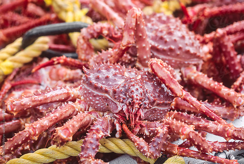 Closeup of a Golden king crab in a brailer full of crab by Mihael Blikshteyn for Stocksy United