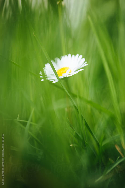 Hidden Daisy in the Grass by Good Vibrations Images for Stocksy United