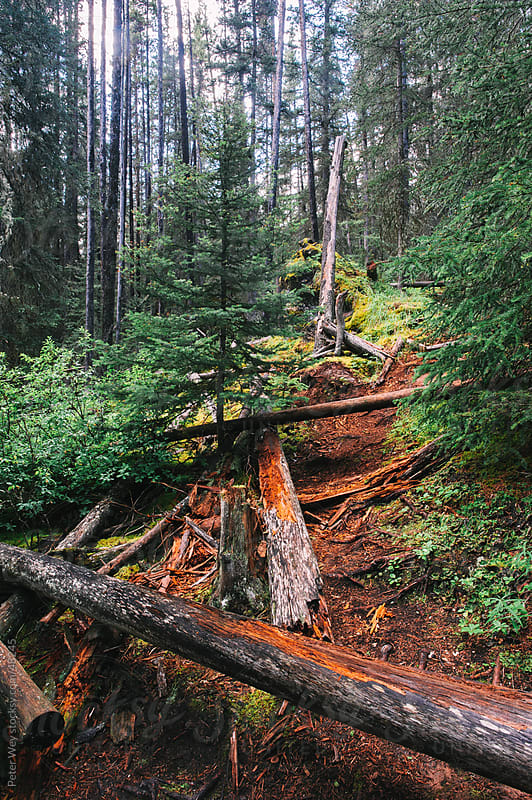 Wild forest inside Banff National Park, Alberta, Canada by Peter Wey for Stocksy United
