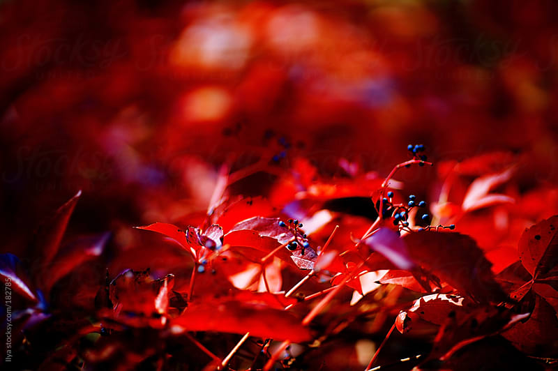 Red autumn ivy leaves  by Ilya for Stocksy United
