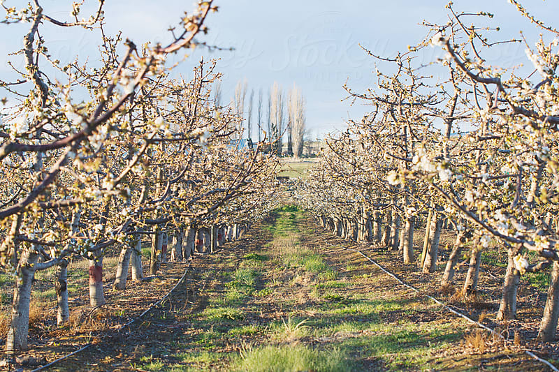 A line of blooming cherry trees in an orchard by Tana Teel for Stocksy United