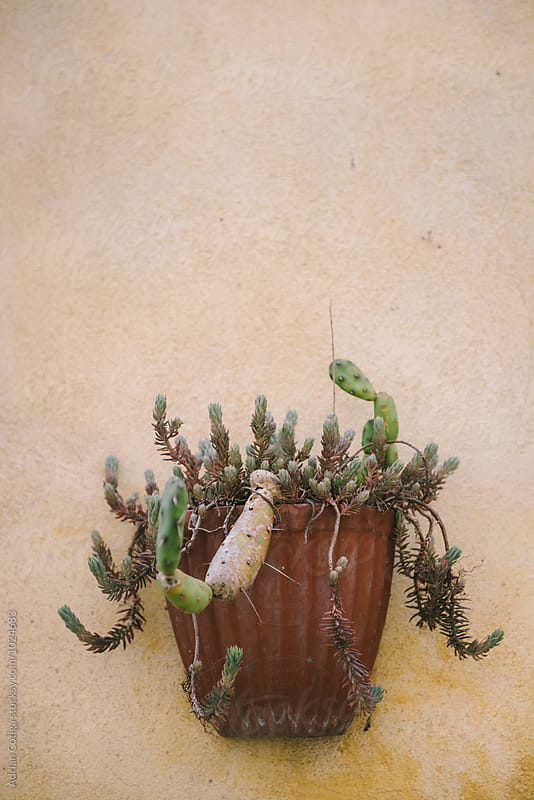 Succulent plants in a pot on a yellow wall by Adrian Cotiga for Stocksy United