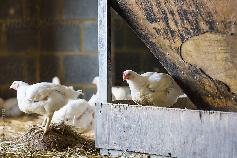 Free range chickens in barn at farm by Kirsty Begg for Stocksy United
