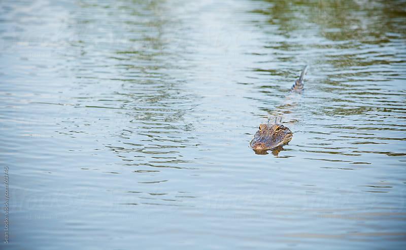 Alligator Swimming in Louisiana River by Sean Locke for Stocksy United