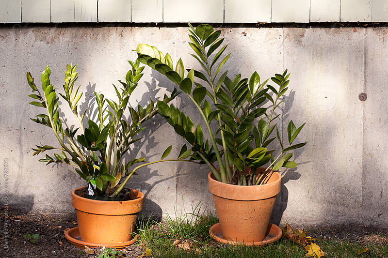 Two potted plants sitting outside against a wall. by J Danielle Wehunt for Stocksy United
