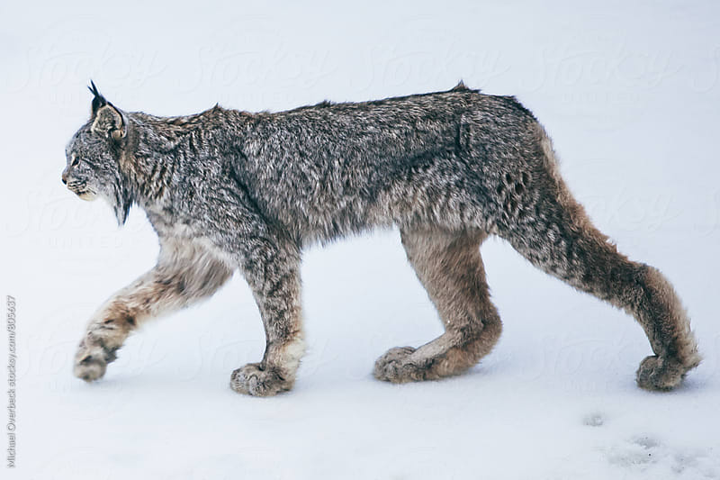A Canadian Lynx by Michael Overbeck for Stocksy United