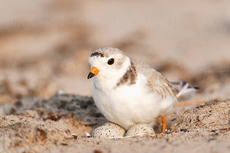 Piping Plover with Eggs. by Paul Tessier for Stocksy United