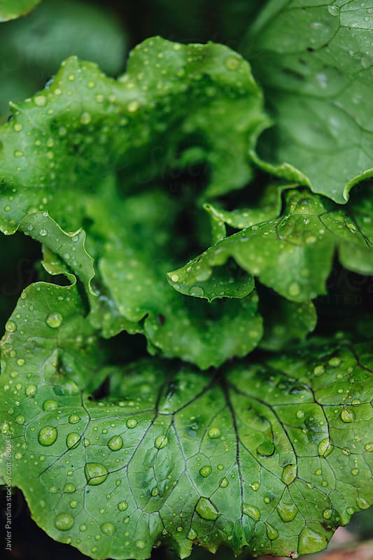 fresh salad with water drops by Javier Pardina for Stocksy United