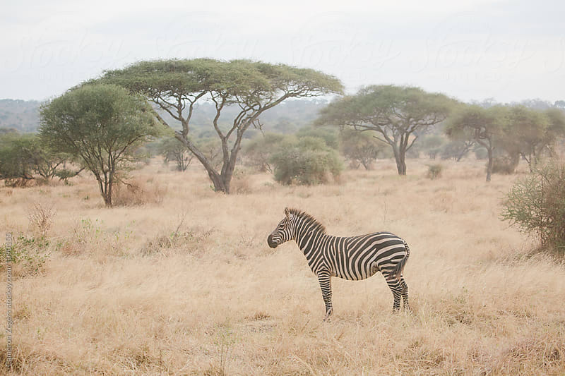 zebra and acacia trees by Cameron Zegers for Stocksy United