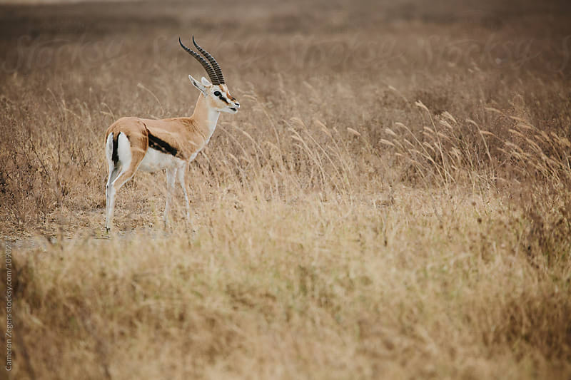 Grant's gazelle in Tanzania by Cameron Zegers for Stocksy United