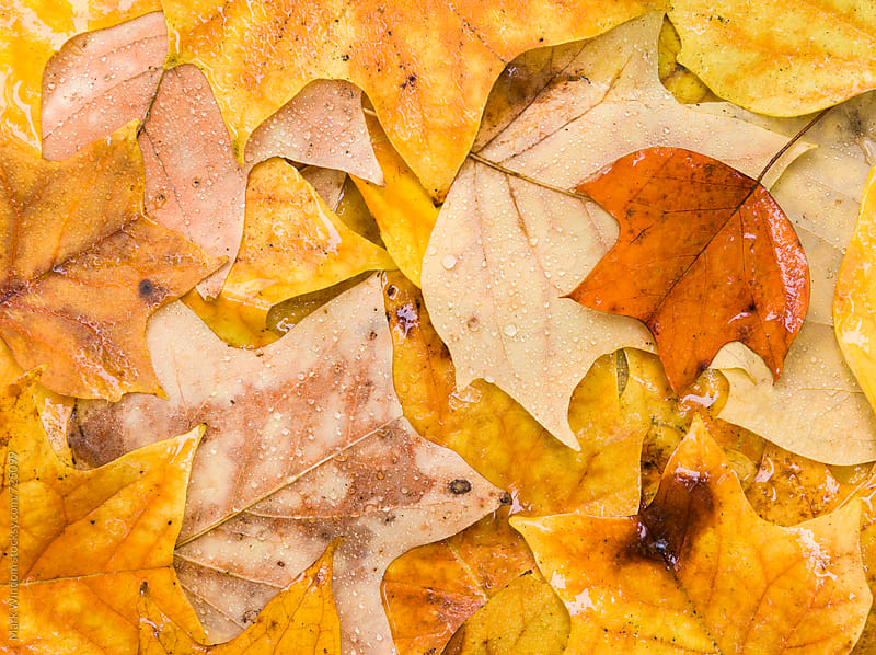 Liriodendron leaves in Autumn by Mark Windom for Stocksy United
