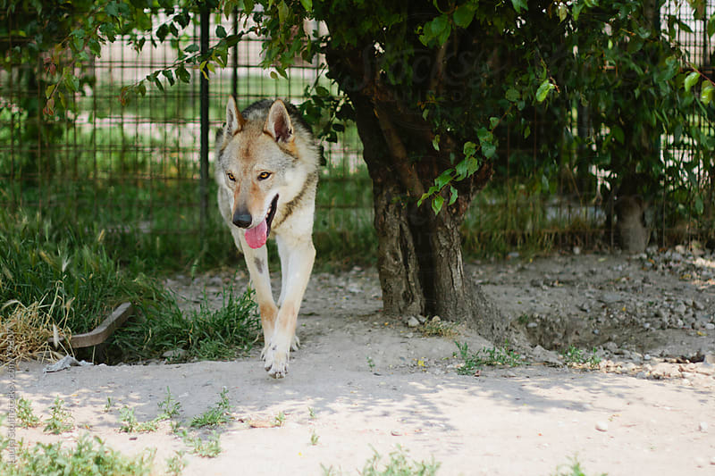 Young Czechoslovakian Wolfdog in garden by Laura Stolfi for Stocksy United