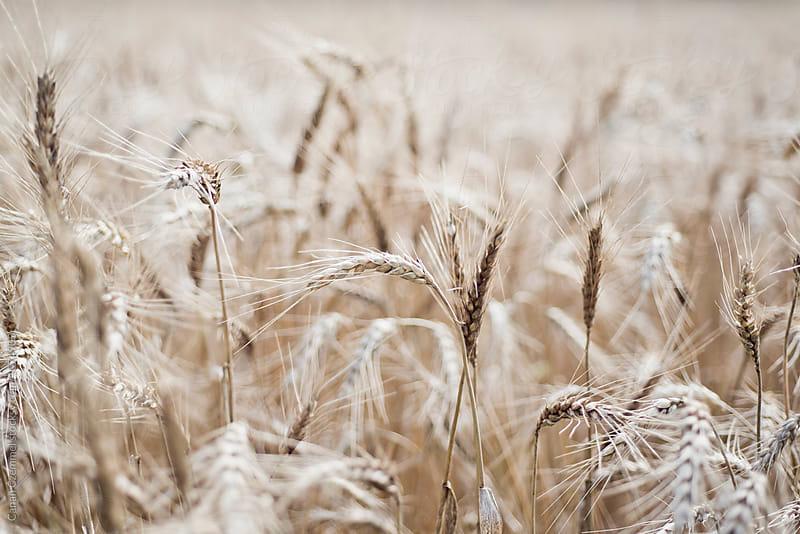 grain in summer by Canan Czemmel for Stocksy United