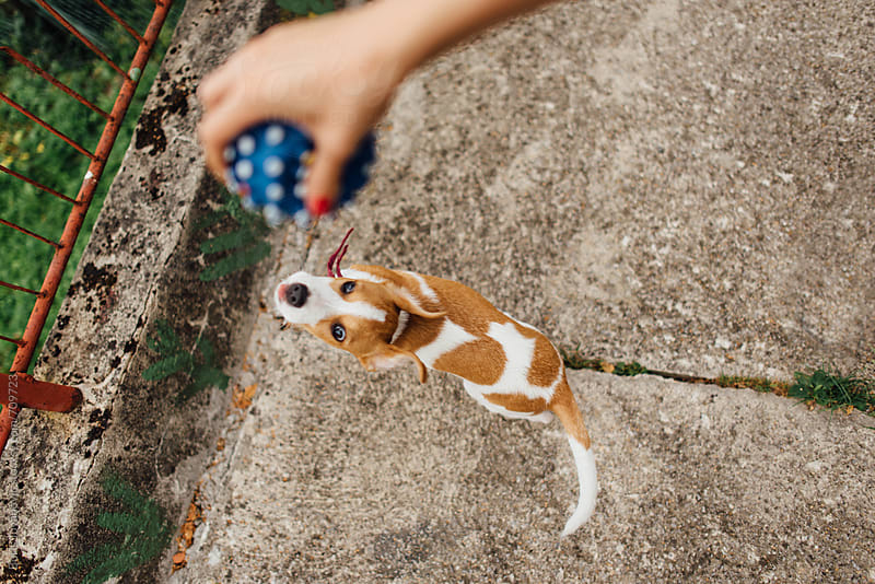 Young Jack Russell playing with ball  by Boris Jovanovic for Stocksy United