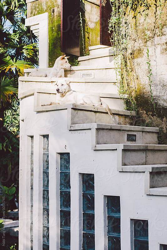 Two white dogs enjoying morning outside of the tropical villa by Nabi Tang for Stocksy United