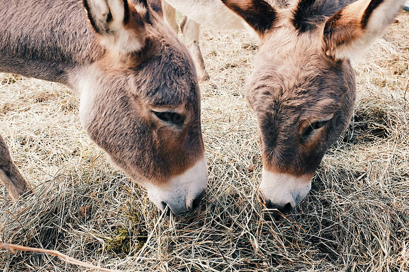 Donkey grazing on hay and feed on a rural farm by Greg Schmigel for Stocksy United