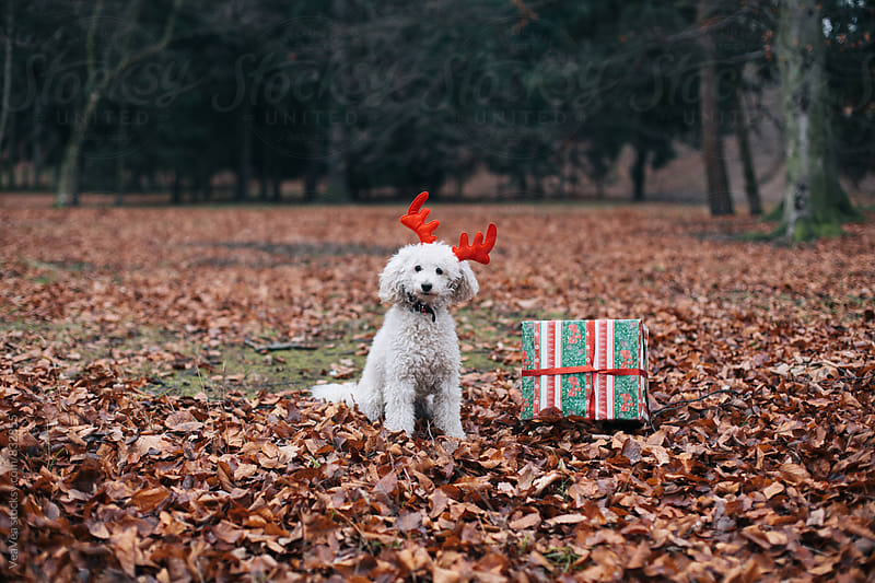 White poodle wearing reindeer horns  by Marija Mandic for Stocksy United