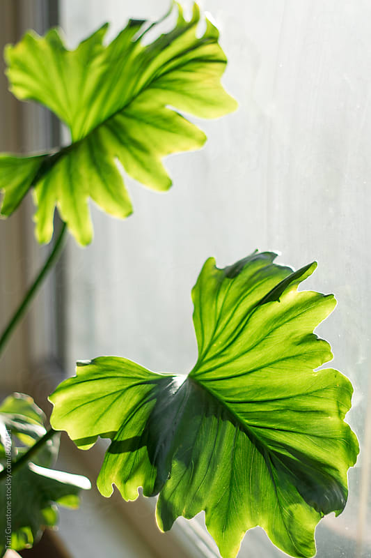 Philodendron leaves in sunny window by Tari Gunstone for Stocksy United