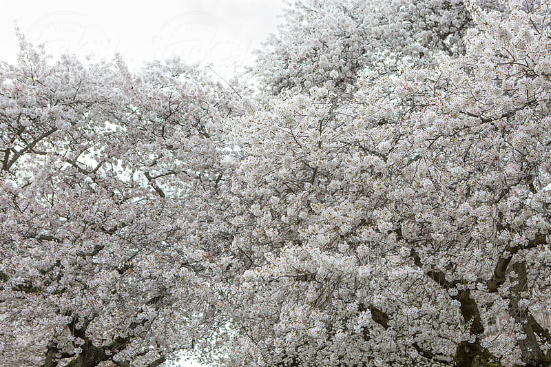 Tree tops with cherry blossom by Mihael Blikshteyn for Stocksy United