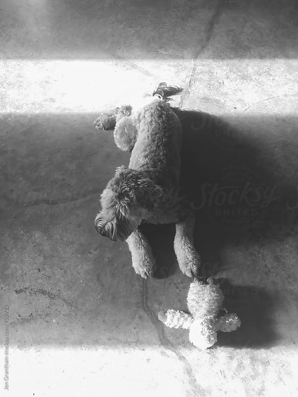 Overhead shot of dog cuddling with stuffed toy on concrete floors by Jen Grantham for Stocksy United