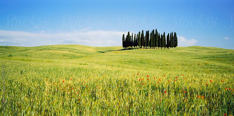 Wild flowers and cypress trees, Tuscany, Italy, Europe  by Gavin Hellier for Stocksy United