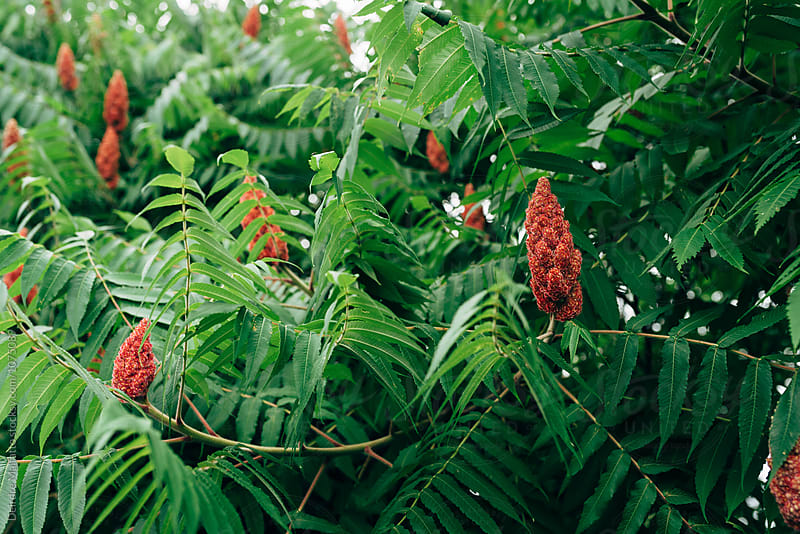 staghorn sumac in summer by Deirdre Malfatto for Stocksy United