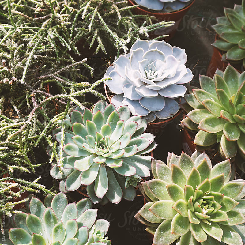 Succulent collection by Marcel for Stocksy United