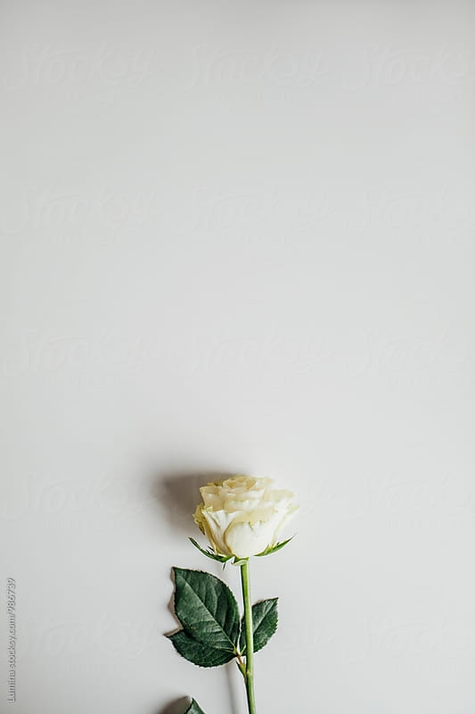White Rose by Lumina for Stocksy United