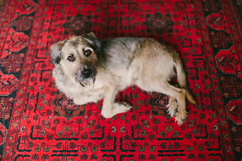 Half-breed dog lying on a red carpet, from above - horizontal by Marija Kovac for Stocksy United
