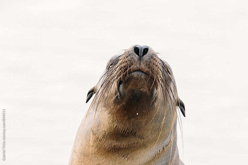 Portrait of a sea lion with water droplets on whiskers by Gabriel Tichy for Stocksy United