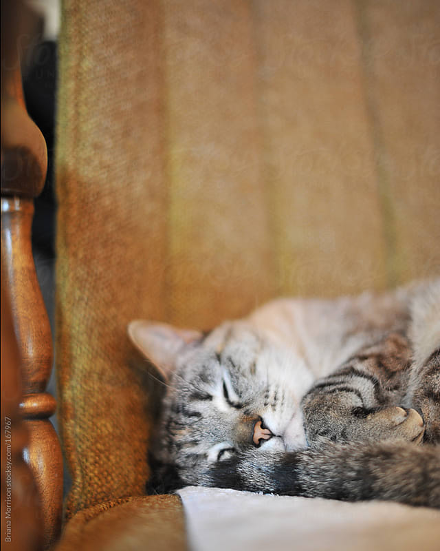 Sleeping Cat on a Brown Chair by Briana Morrison for Stocksy United