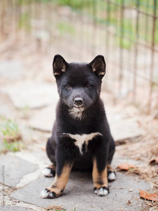 Adorable Shiba Inu puppy sits in garden and looks straight at the camera by Laura Stolfi for Stocksy United
