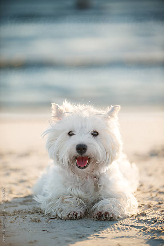 Small white dog smiling at the beach by Angela Lumsden for Stocksy United
