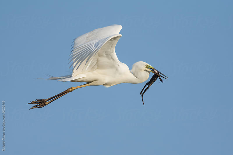 Little egret (Egretta garzetta) with frog by Gabriel Ozon for Stocksy United