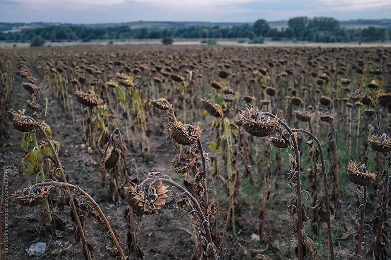 Sunflower field by Paul Schlemmer for Stocksy United