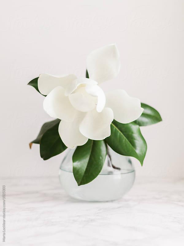 Southern Magnolia Blossom by Marta Locklear for Stocksy United