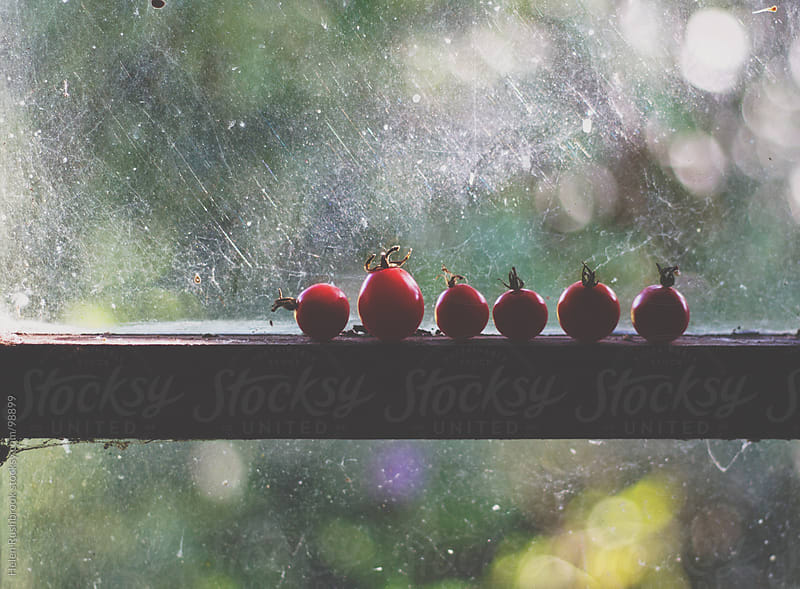 Cherry tomatoes ripening in a window by Helen Rushbrook for Stocksy United
