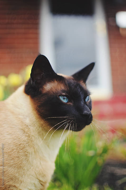 A siamese cat by Chelsea Victoria for Stocksy United