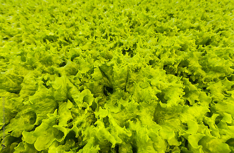 Lettuce by IDS Photography for Stocksy United