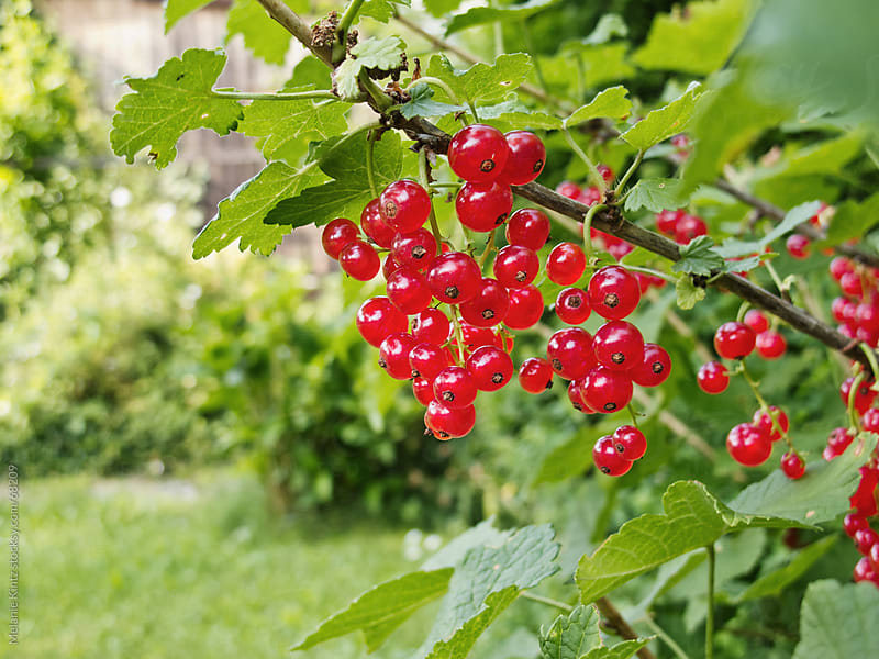 Red currants on a branch in a garden, room for text by Melanie Kintz for Stocksy United