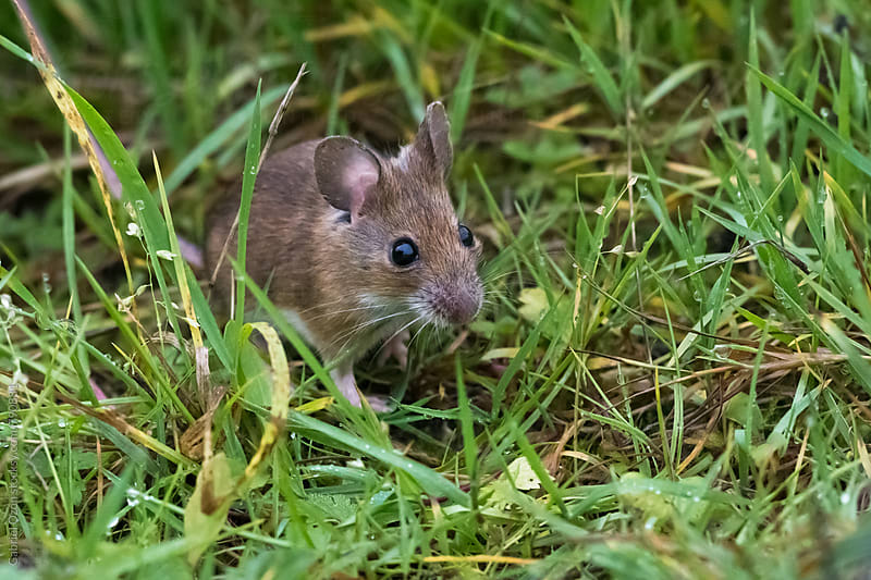 Wood mouse (Apodemus sylvaticus) by Gabriel Ozon for Stocksy United