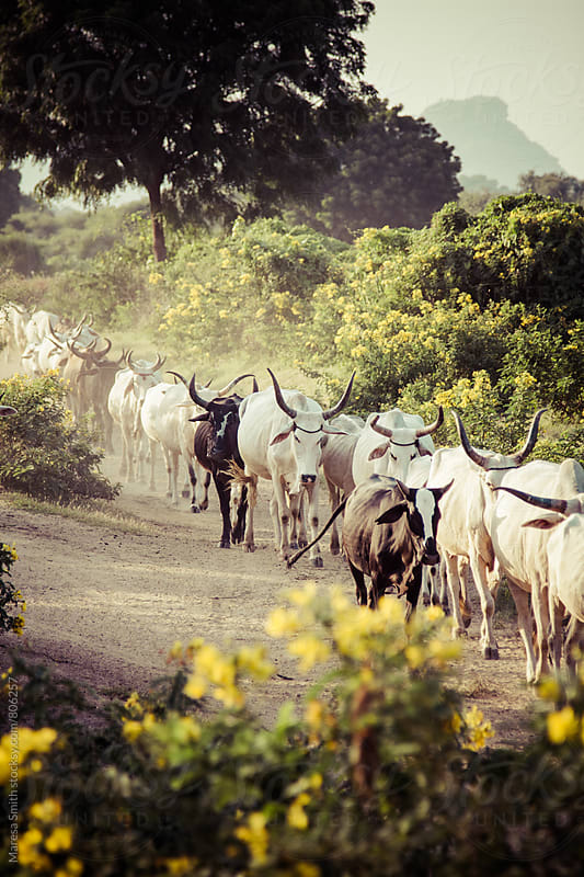 A herd of cows walking towards the camera in the Rajasthani wilderness by Maresa Smith for Stocksy United